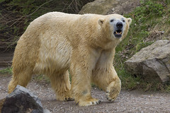 Eisbär Nanug (DeanB Photography) Tags: eisbär nanug erlebniszoohannover zoo hannover raubtiere raubtier tiere tier animal animals canon 1d mark iv 1dmkiv tierpark tierwelt