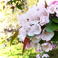 Blossom (Andrew Gustar) Tags: white cherry blossom westonbirt arboretum