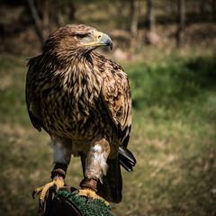 Aigle Impérial (acpixs) Tags: animal photographie portrait nature wild bird oiseau heliaca aquila aquilaheliaca accipitridae imperial rambouillet rapace aigle eagle