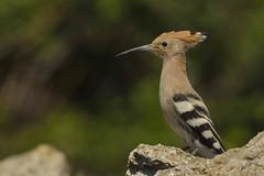 huppe (frederic.laroche6) Tags: huppe oiseau bird crau nikon d7100 nikkor 200 500 f56 14
