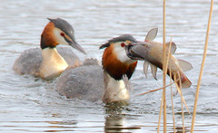 Great crested grebe (badger2028) Tags: podiceps cristatus great crested grebe ham wall somerset tench fish