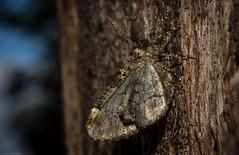 Pholodes sinistraria +/- (dustaway) Tags: arthropoda insecta lepidoptera geometridae ennominae pholodessinistraria australianmoths australianinsects tullera northernrivers nsw nature australia