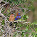 Purple Grenadier (Granatina ianthinogaster), female and male