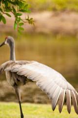 Spreading Out (AngelaC2009***) Tags: 2017 march spring florida riverview pond backyard backyardwildlife bird sandhillcrane wildlife canoneosdigitalrebelxt