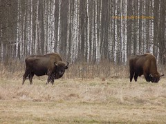Bisonte europeo a Bialowieza