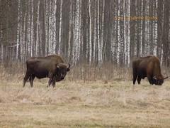 Bisonte europeo a Bialowieza