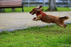 _Q9R1672 (Dream Delivered (Dreamer)) Tags: dachshund dog porco jump flyingdog ruby5