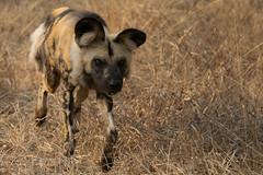 African wild dog (mayekarulhas) Tags: hoedspruit limpopo southafrica za wilddog wildlife wild animal africa safari canon carnivores