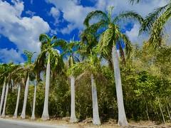 Version 2 Cozumel Mexico April 2017 (bermudafan8) Tags: 2017 spring break bermudafan8 palms palmtree cozumel mexico