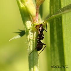 et la cigale?  j'lai pas vue... (studio gimi) Tags: insecte macro marais grosplan planrapproché profondeurdechamp depthoffield extérieur outdoor sigma105mm macrodreams
