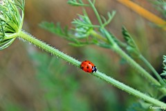 Little Ladybug (maren_key) Tags: ladybug green outdoor macro marienkäfer red dots