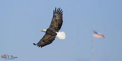 America's National Symbol (BirdFancier01) Tags: raptor eagle nature flight america river leclaire iowa flag lockanddam14 widlife