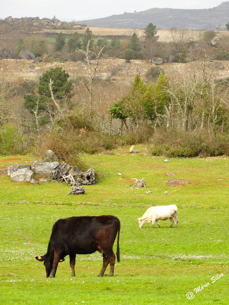 Águas Frias (Chaves) - ... vaca preta ... vaca branca ...