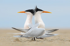 Elegant Terns Courting (bmse) Tags: eleganttern courtship courting beach sand hb long california canon 7d2 400mm f56 l bmse salah baazizi wingsinmotion