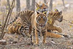 ADS_0000120782 (dickysingh) Tags: tigers wild wildlife ranthambore ranthambhorenationalpark bigcats