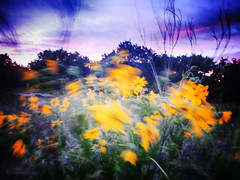 Daisies in the breeze (flowerweaver) Tags: sunset daisies flowers wildflowers engelmanndaisy meadow yellow motionblur breeze