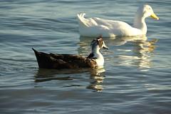 american_pekin_and_black_swedish_duck?