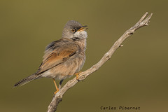 Tallarol trencamates, Curruca tomillera, Spectacled Warbler (Sylvia conspicillata) (Carles Pibernat) Tags: