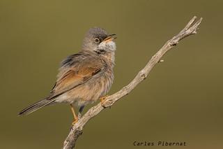 Tallarol trencamates, Curruca tomillera, Spectacled Warbler (Sylvia conspicillata)