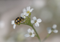 Coccinelle à point jaune (Doriane Boilly Photographie Nature) Tags: coccinelle point jaune macro printemps garden jardin faune flore insecte nature bête prairies flowers