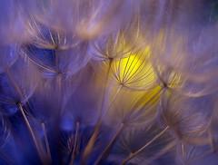 Shining through (miss gecko) Tags: shine shining shininglight dandelion purple yellow macro