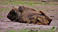 Fauler Bison, 75367/8153 (roba66) Tags: bison wisent buffalo botgarten zoo zoolgarten tierpark badwürttemberg stuttgart wilhelma roba66 tier tiere animal animals creature