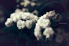 Spirea Bridal Veil ((Sarah Robinson)) Tags: spirea bridal veil flower bush white tiny macro petals leaves closeup outdoors nature nikon d750 105mm