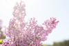 La belleza es cosa de dos (anais_vazquez) Tags: naturaleza flores contraluz primavera lilas