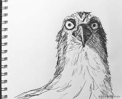 Osprey Drawing (Nikographer [Jon]) Tags: osprey bird birds drawing linedrawing sketch pencil pencildrawing nikographer