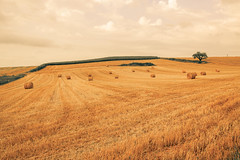 _Q9A5478 (gaujourfrancoise) Tags: france southwest sudouest charente fields champs été summer ocher ocre