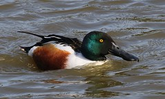 Shoveler 250317 (Richard Collier - Wildlife and Travel Photography) Tags: wildlife naturalhistory birds british britishbirds ducks shovelerduck naturethroughthelens
