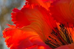 Seidenblume - satin flower (HMM !) (ralfkai41) Tags: makro textile satin handwerk macromondays handmade clothtextile flower decoration blume macro cloth seide dekoration deko mohn poppy