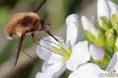 Bee-fly refuel (Dom Greves) Tags: beefly behaviour bombyliusmajor cardaminepratensis cuckooflower darkedgedbeefly feeding insect invertebrate largebeefly march nectaring spring surrey uk wetland wildlife woodland