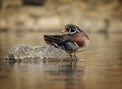 Strike the Pose... (DTT67) Tags: woodducks ducks drake waterfowl birds spring colorful wildlife nature nationalgeographic water pond canon 5dmkiv 500mmii 14xiii