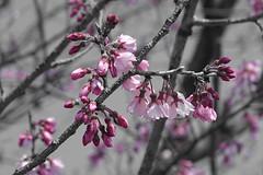 Pink sakura ピンク桜 (Shutter Chimp: Im back!) Tags: japan 桜 sakura cherry blossom pink ピンク selective colouring coloring flower bloom 花 モノクロ 日本 水戸 茨城 mito ibaraki