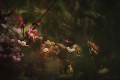 Somewhere Between (shawn›raisin d+p) Tags: canon6d ef70200mmf4l pinksaxifrage plant purplerobe saxifragaxarendsii shawnwhite bokeh canon70200f4l dark dream dreamy flower garden magic magical mood mystery mystic tele telephoto wonder