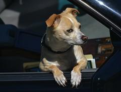 Car Guard (swong95765) Tags: cute animal pet guard dog petite alerrt observant watching listening security