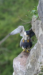 Peregrine Sequence (4 of 4) (Robin M Morrison) Tags: peregrinefalcon avon gorge bristol mating