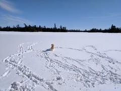 Dog (Ottawa Riverkeeper / Sentinelle de la rivière des) Tags: dog snow ottawariver ottawa wickensbay