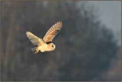 Barn Owl (image 3 of 3) (Full Moon Images) Tags: rspb fen drayton lakes wildlife nature reserve cambridgeshire bird prey birdofprey flight flying barn owl
