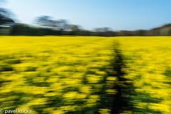 PPF_0775-1 (pavelkricka) Tags: holbrook fields village oilseed rape motion blur deliberate intentionalcameramovement icm