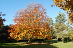 beech_copper_autumn (Hall Place Idler) Tags: beech copper fagaceae fagus hallplace