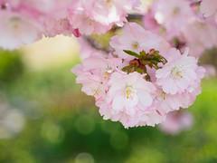 Sakura Bavariae (4) (Karsten Gieselmann) Tags: baum blüten bokeh bäume dof domiplan50mmf28 em5markii farbe frühling grün jahreszeiten kirschblüte microfourthirds natur olympus pflanzen rosa schärfentiefe sonne vintagelens wetter color green kgiesel m43 mft nature pink seasons spring sun tree trees weather