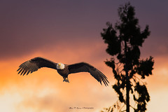 Bald eagle early morning hunt (Alex T Sam) Tags: bald eagle hunt raptor wildlife prey bird birdwatcher