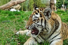 Tiger 2 (Mickas Photografie) Tags: sony alpha 6500 ilce mickas photos mickasphotos tier sibirischer tiger panthera tigris altaica