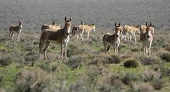 Asian Wild Donkeys (Wild Chroma) Tags: wild donkeys iran persia bahrame gur bahramegur bahramegoor goor equus hemionus equushemionus