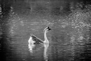 Chinese Goose (Domestic Swan Goose)