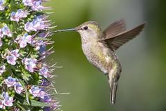 Anna's Hummingbird (X74_8912-1) (Eric SF) Tags: annashummingbird hummingbird annas californiahistoricalnursery fremont california