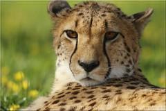 GUEPARD (corinneguegan) Tags: gatofelins felins bigcats faunesauvage fauves