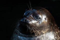 Ringed seal (K.Verhulst) Tags: ringedseal ringelrob rob seal kleinezeehond burgerszoo arnhem